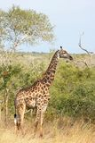 Giraffe in Sabi Sand Reserve, Africa Royalty Free Stock Image