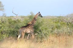 Giraffe in Sabi Sand Reserve, Africa Stock Photography