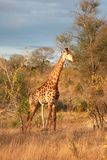 Giraffe in Sabi Sands Royalty Free Stock Image