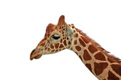 Giraffe - sadness on white. A sad looking reticulated giraffe isolated on white Royalty Free Stock Image