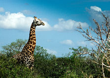 Giraffe on safari Royalty Free Stock Photo