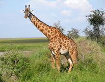 Giraffe on Safari. Giraffe captured during safari in Kenya Royalty Free Stock Images