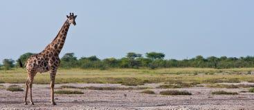 Giraffe on Safari. A giraffe stands alone on an empty grassy plain in Africa Royalty Free Stock Photography