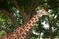 Giraffe on a safari Stock Photography