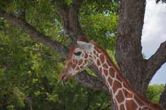 Giraffe on a safari Royalty Free Stock Photos