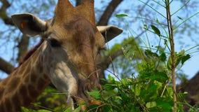 A giraffe in a safari park eats tree leaves.  stock footage