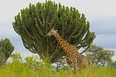Giraffe in safari park in South Africa Stock Photo