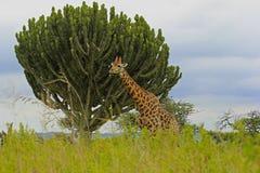 Giraffe in safari park in South Africa. Giraffe near  the  tree  in safari park in South Africa Royalty Free Stock Images
