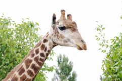 Giraffe, Safari Park Taigan, Krim Lizenzfreies Stockfoto
