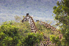 Giraffe on safari wild drive, Kenia. Stock Photography