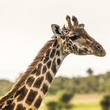 Giraffe on safari wild drive, Kenia. Royalty Free Stock Photography