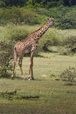 Giraffe on safari wild drive, Kenya. Royalty Free Stock Photography