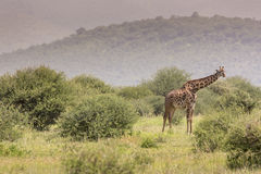 Giraffe on safari wild drive, Kenya. Royalty Free Stock Photos