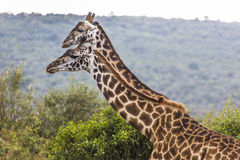 Giraffe on safari wild drive, Kenya. Stock Image