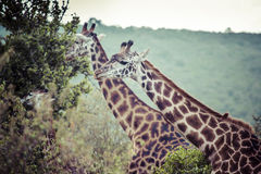Giraffe on safari wild drive, Kenya. Stock Images