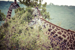 Giraffe on safari wild drive, Kenya. Stock Photos