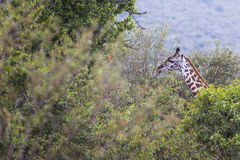 Giraffe on safari wild drive, Kenya. Stock Photo