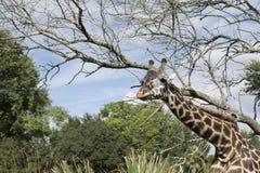 Giraffe on safari wild drive Royalty Free Stock Images