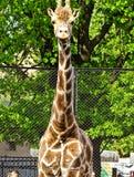 Giraffe Samson Galetovic Leningradov in Moscow zoo Stock Photography