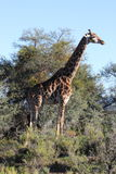 Giraffe in the Sanbona Wildlife Reserve. Beautiful male Giraffe posing for tourists in the Sanbona Wildlife Reserve in the Little Karoo in South Africa Stock Images