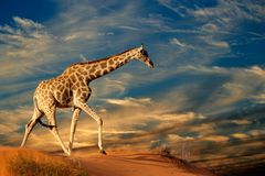 Giraffe on sand dune. Giraffe (Giraffa camelopardalis) walking on a sand dune with clouds, South Africa Stock Photos