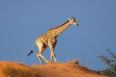 Giraffe on sand dune Stock Image