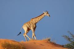 Giraffe on sand dune stock image
