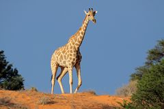 Giraffe on sand dune, Kalahari desert royalty free stock photography