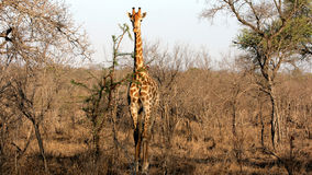 Giraffe sauvage, stationnement national de Kruger Photo libre de droits
