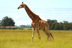 Giraffe in savanna. Girafe is a silent animal,game reserve plettenberg bay,south africa Royalty Free Stock Image