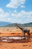 Giraffe. In the savanna of Africa Stock Images