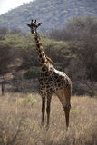 Giraffe in savanna Royalty Free Stock Photography