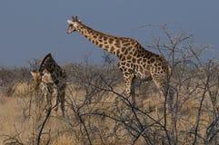 Giraffe in savanna africana Fotografia Stock Libera da Diritti