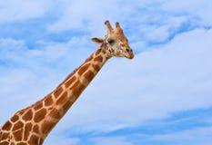 Giraffe against the blue sky Stock Images