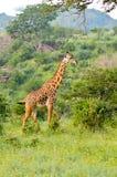 Giraffe in the savanna Stock Photos