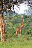 Giraffe in the savanna Stock Images