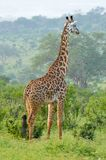 Giraffe in the savanna Royalty Free Stock Photos