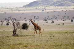 Giraffe in the savanna Royalty Free Stock Photo