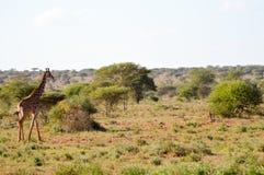Giraffe in the savanna Royalty Free Stock Image