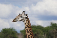 Giraffe in the savanna (Giraffa camelopardalis) Stock Image