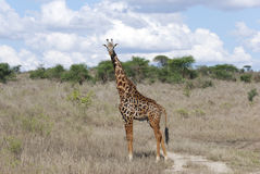 Giraffe in the savanna (Giraffa camelopardalis) Royalty Free Stock Images