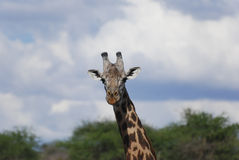 Giraffe in the savanna (Giraffa camelopardalis) Stock Images