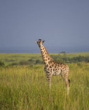 Giraffe in the savanna Stock Photo