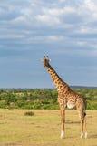 Giraffe at the savanna Royalty Free Stock Images