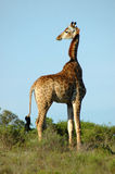 Giraffe on savannah Stock Photos