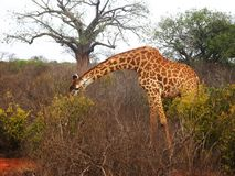 Giraffe on the savannah Stock Images