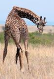 Giraffe  in savannah Stock Photos