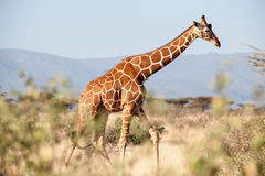 Giraffe. In the savannah of africa Royalty Free Stock Photo