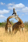 Giraffe on savannah in Africa. Giraffe on savannah in National park of Africa Royalty Free Stock Photos
