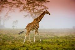 Giraffe on the savannah. Giraffe on the african savannah in the mistic light Royalty Free Stock Photo